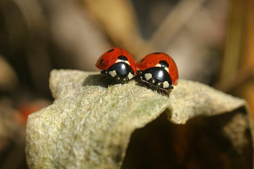Lady Bug, Ladybug, Insect, Beetle, Nature, Macro