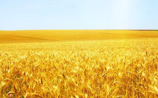 Wheat, Cereal, Crop, Bread, Pasture