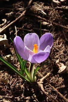 Crocus, Blooming, Petals, Closeup, Violet