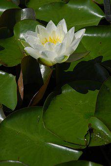Plant, Leaf, Flower, Nature, Puddle, Water Lily