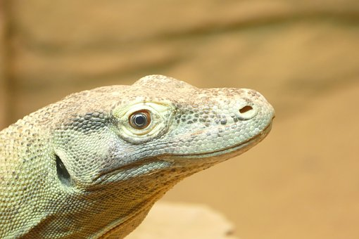 Lizard, Reptile, Nature, Wildlife, Animal, Outdoors