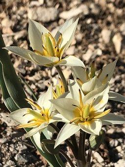 Plant, Nature, Flower, Leaf, Growth, Tulip, Spring, Sun
