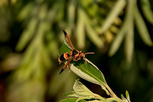 Insect, Hornet, Abispa Ephippian, Potter Wasp, Striped