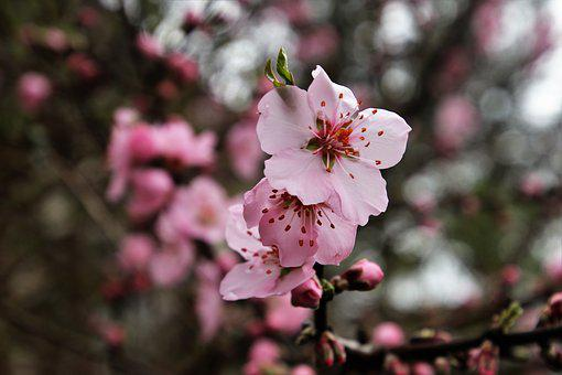 Spring, Tree, Flower, Branch, Cherry, Nature, Garden