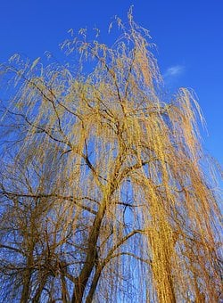 Weeping Willow, Willow, Tree, Salix Babylonica, Branch