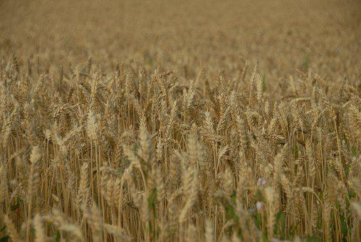 Wheat, Cereal, Crop, Gold, Field