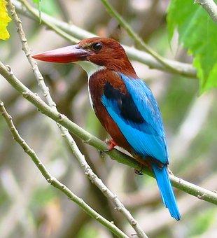White Chest Kingfisher, Bird, Wildlife, Nature, Beak