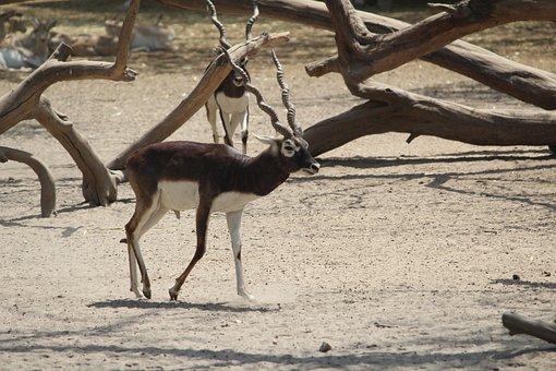 Black Buck, Musk Deer, Deer, Mammal, Nature, Wildlife