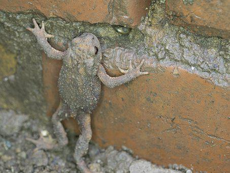 Common Toad, Nature, Animal World, Animal, Amphibian