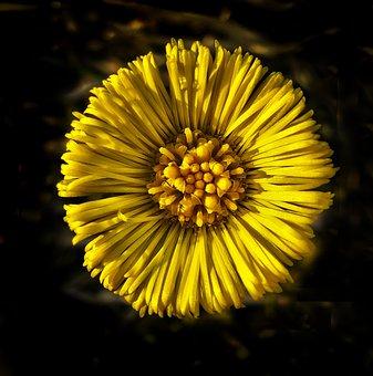 Tussilago Farfara, Blossom, Bloom, Plant, Flower