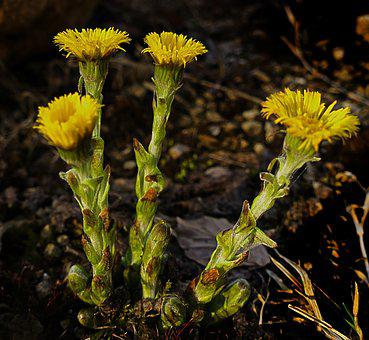 Tussilago Farfara, Blossom, Bloom, Plant, Flower