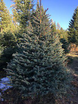 Tree, Conifer, Evergreen, Pine, Winter, Concolor Fir