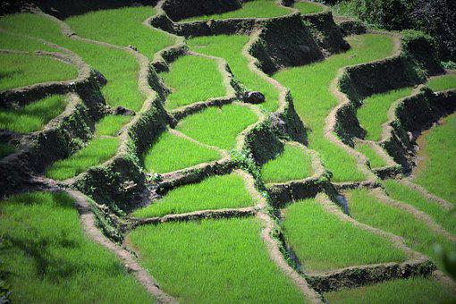 Agriculture, Nature, Travel, Rice, Terrace, Field, Food