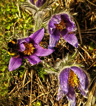 Flower, Plant, Pasque Flower, Spring Flower