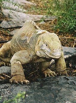 Iguana, Galapagos, Lizard, Nature, Animal, Wildlife