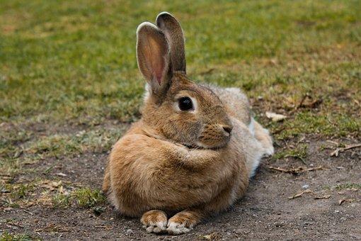 Mammalia, Rabbit, Nice, Animalia, Nature, Lawn