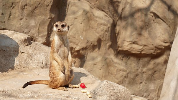 Nature, Wildlife, Animal, Mammal, Cute, Mongoose, Rock