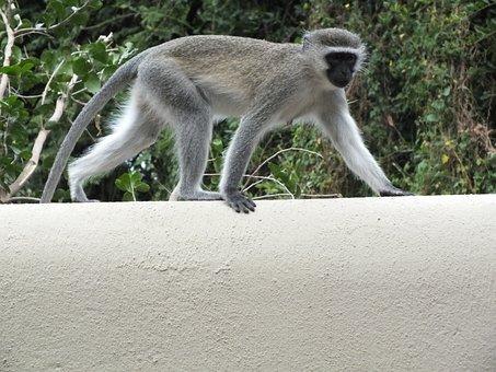 Monkey, Primate, Wildlife, Mammal, Nature, Vervet