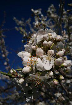 Flower, Nature, Flora, Tree, Cherry