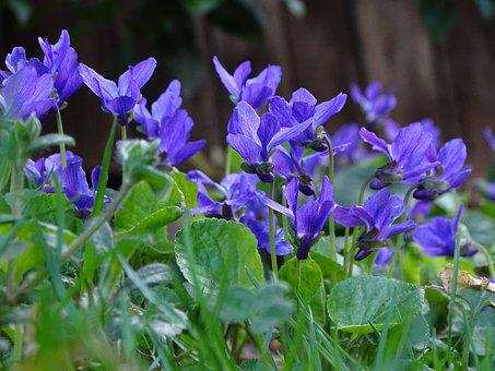 Flower, Plant, Nature, Garden, Violet, Scented Violets