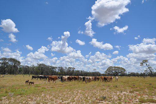 Nature, Sky, Grass, Agriculture, Field, Kelpie, Cattle