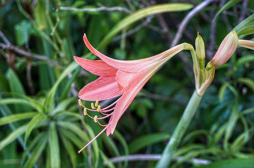 Striped Barbados Lily, Lily, Pink, Red, Flora, Flower