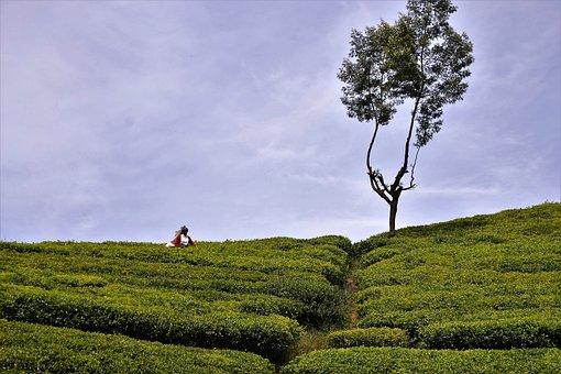 Tea Plantation, Tea Harvest, Sri Lanka