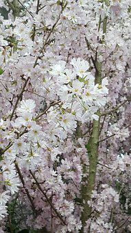 Flower, Cherry, Tree, Branch, Flora, Season, Nature
