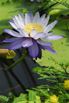 Flower, Plant, Nature, Leaf, Garden, Water Lily