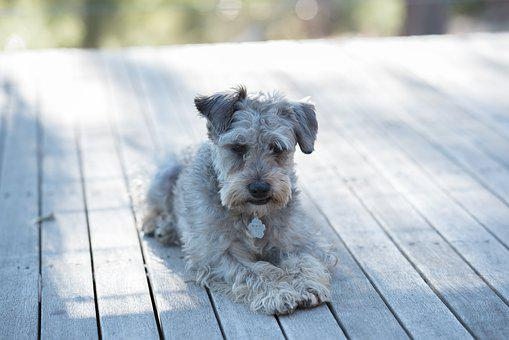 Schnoodle, Dog, Domestic, Pet, Cute, Canine, Animal