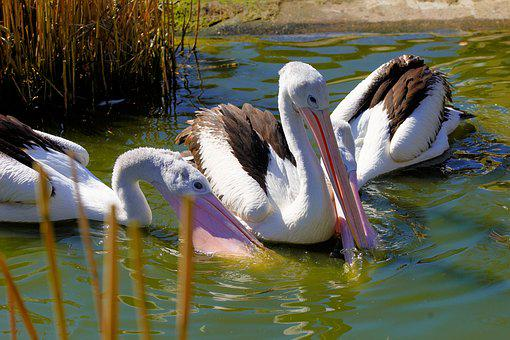 Bird, Waters, Pelikan, Animal World, Nature, Wing
