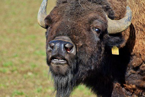 Bison, Buffalo, Horns, Head, Foot, Tooth, Bison Head