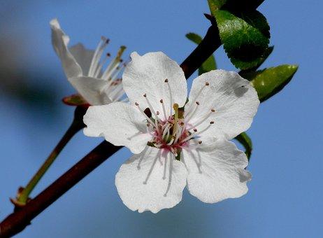 April, Blossom, Bloom, Apple Blossom, Cherry Blossom