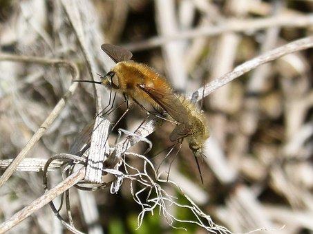 Bombus, Bombus Pascuorum, Insect Breeding, Borinot Camp