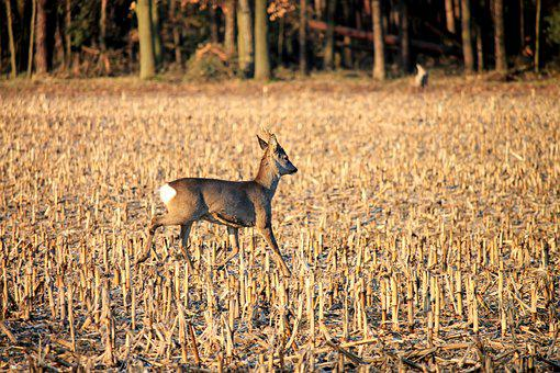 Roe Deer, Fallow Deer, Wild, Field