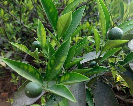 Leaf, Nature, Flora, Food, Agriculture, Fruit, Healthy