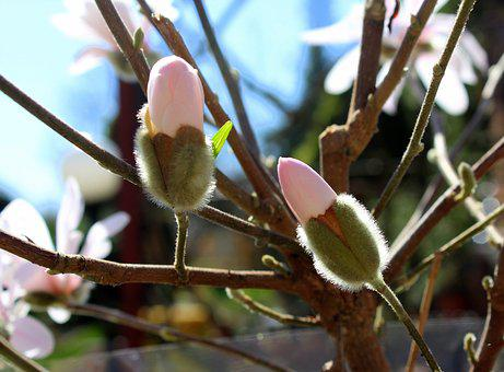 Magnolia, The Flower Buds, Spring, Tree, Branch, Flower