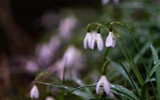 Nature, Snowdrop, Flowers, White, Spring, Flower, Plant