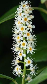 Nature, Flower, Laurel Hedge, Leaf