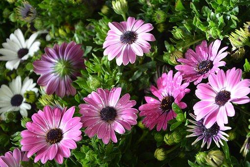 Flower, Massive Flowers Osteospernum, By-earth, Plant