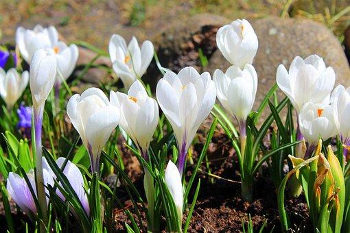 Crocus, White, Spring Flowers, Spring, Flower, Nature