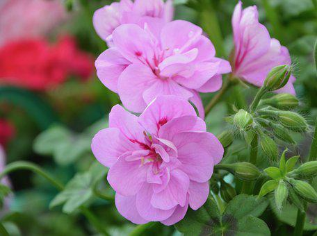 Flower, Geranium Purple Pink, Nature, Plant, Garden