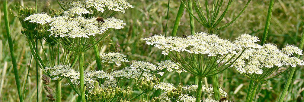 Giant Hogweed, White, Meadow, Flowers, Medicinal Plant