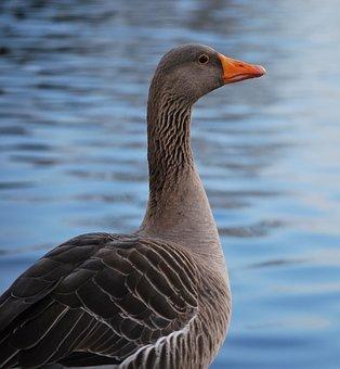 Bird, Wildlife, Nature, Feather, Waterfowl, Goose, Grey