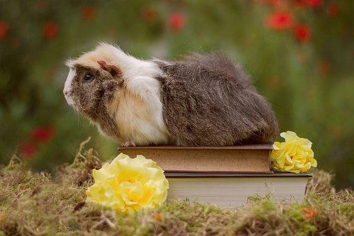 Nature, Animal, Mammal, Small, Grass, Guinea Pig, Pet