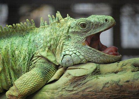 Reptile, Lizard, Nature, Animal, Wildlife, Zoo