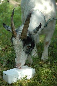 Nature, Animal, Mammal, Goat, Salt Lick Stone
