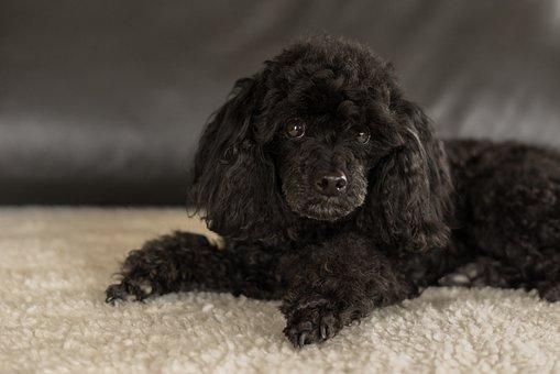 Dwarf Poodle Black, Dog, Cute, Small, Pretty, Mammal