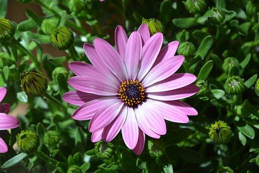 Osteospernum Flower, Plant Pink, Nature, Garden, Summer