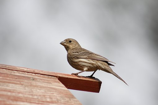 Bird, Nature, Outdoors, Wildlife, Female House Finch
